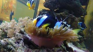 видео рыба-клоун в морском аквариуме