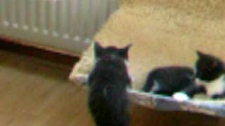Kittens van Sabbel