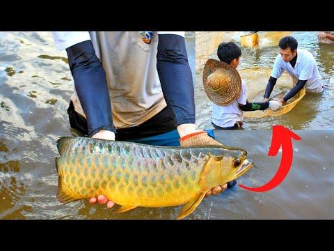 Arowana Breeding @ Fish Farm   SGBA Vlogs