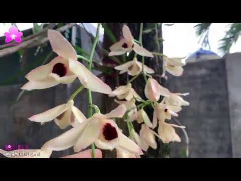 Hoàng Thảo Thái Bình DENDROBIUM PULCHELLUM – Chăm Đơn Giản, Cây Hoa Khổng Lồ