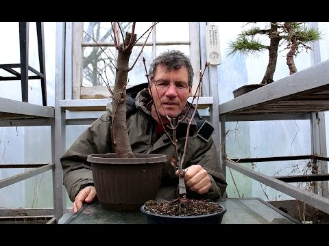 Repotting a Native Red Maple Bonsai, Part 1, April 2016