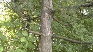 Ishrana u prirodi-vitamin C borove iglice