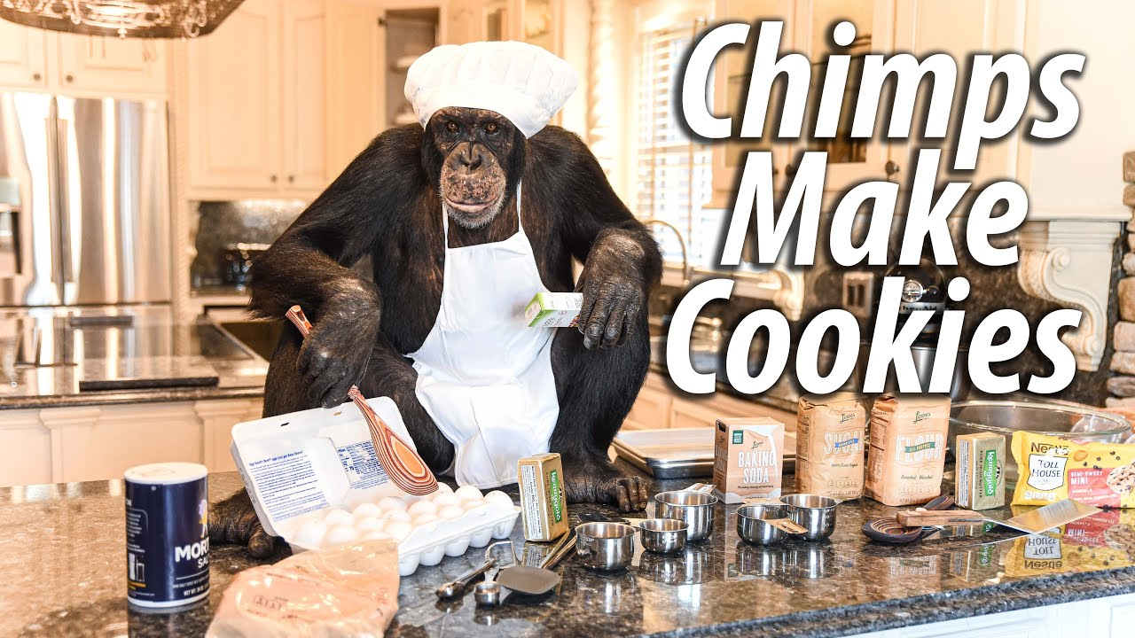 Chimps Make Cookies | Myrtle Beach Safari