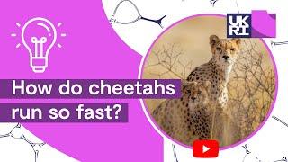 How do cheetahs run so fast?