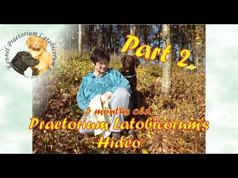Curly Coated Retriever puppy PLs Hideo training - part 2