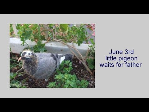 Videos Part 1: Life of a Baby Pigeon - Wysinfo Documentaries