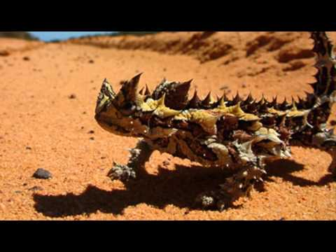 Adaptations of the Thorny Devil