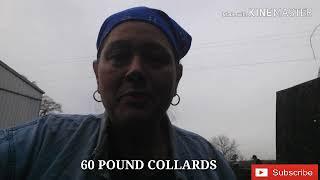 COLLARD COOKING TIME.... 60LBS WORTH