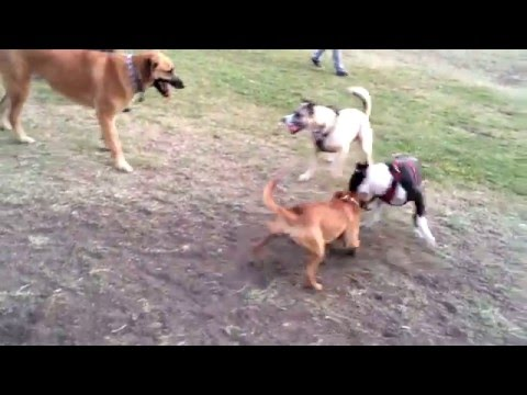 English Staffordshire Bull Terrier vs Pit Bull mix
