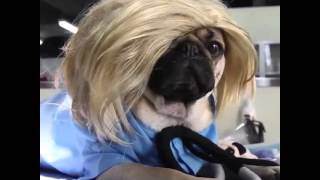 Pug's Anatomy - Its Doug The Pug