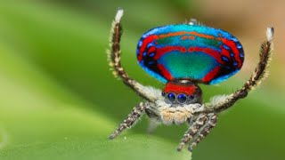 Peacock Spider: Die wohl niedlichste Spinne der Welt