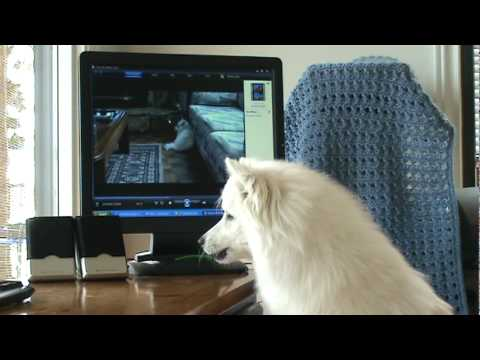 Rocky Sings -The Young & The Restless, Miniature American Eskimo