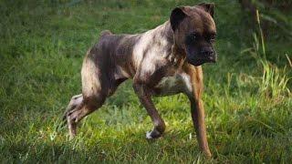 Adult boxer with degenerative myelopathy
