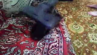 Кошка любит пылесос