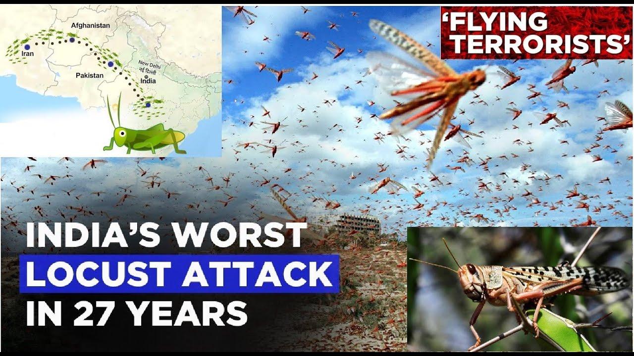 Locust Plague Attack in India || Biggest Plague Attack in ...