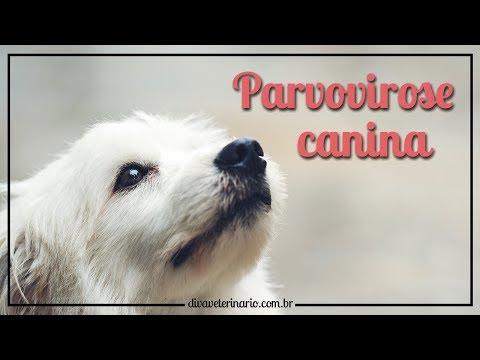 parvovirose-canina- -divã-veterinário