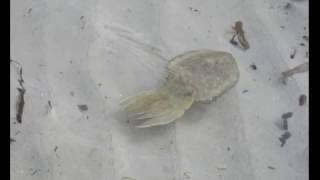 Pêche d'une seiche en méditerranée au leurre