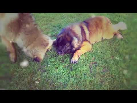 Leonberger Antics episode 113