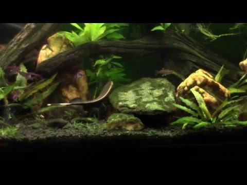 BGKF (Black Ghost Knife Fish)