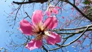 Silk Floss tree - Ceiba speciosa - palo borracho - drunken stick - Chorisia speciosa HD 06