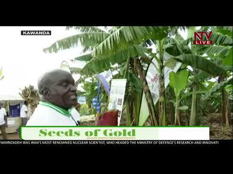 SEEDS OF GOLD: The process and activities involved in planting bananas   2020