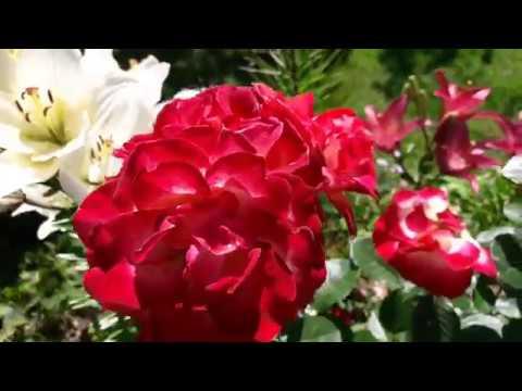 Последний день июля в моем саду /Зацветают лилейники,клематисы
