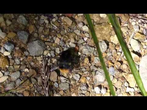Dying Bumblebee オオマルハナバチ♀瀕死の徘徊