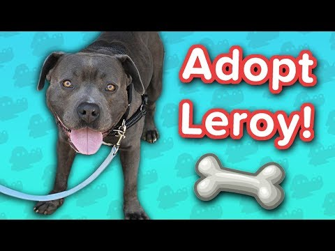 Adopt Leroy! // Staffordshire Mix // Adoptable Featurette