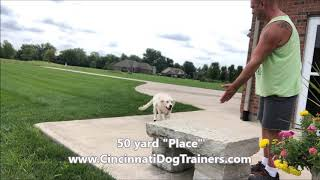English Golden 50 yard Place command at Cincinnati Dog Trainers Off Leash K9