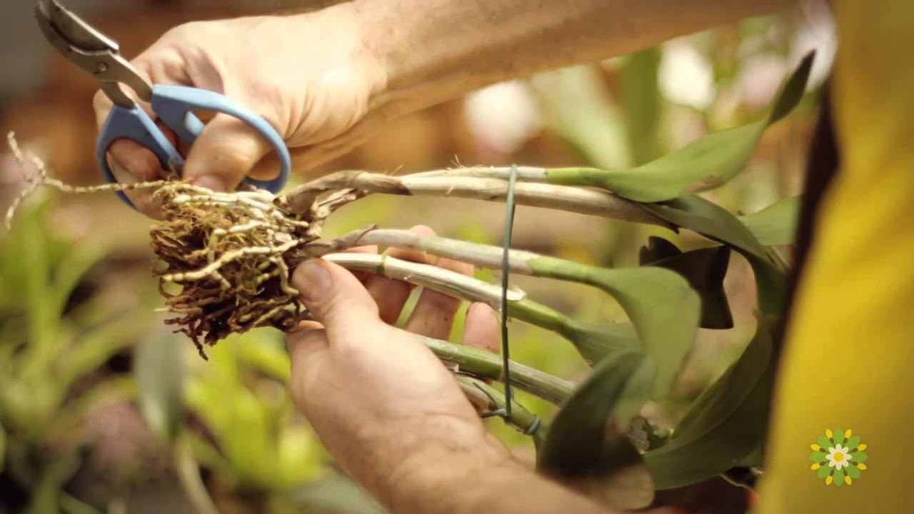 Como cuidar de orqu deas dona flor youtube for Cuidados orquideas interior