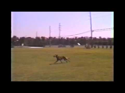 AKC Ch. Rakker (Belgian Malinois) SchH3 Protection and Obedience - 1992
