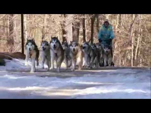 dogs 101 - Alaskan Malamute