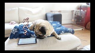 愛犬の反応がオモロいんでボイスチェンジャーでまた遊んでみた パグ犬ぷぅ Pug