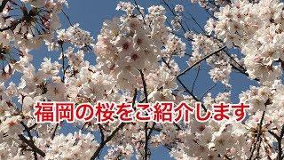 【福岡県】舞鶴公園の桜をご紹介します