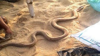 Video Biggest Iil Fish like a Snake in Puri Beatch Odisha - How to Remove Skin of Iil fish Real Video download MP3, 3GP, MP4, WEBM, AVI, FLV Juli 2018