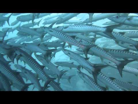 バラクーダと泳ぐシパダンの海! school of barracuda in sipadan
