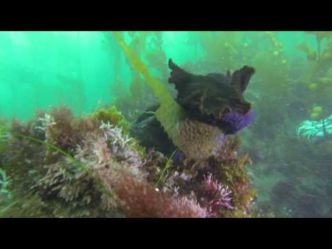 Sea Hare Grazing Kelp