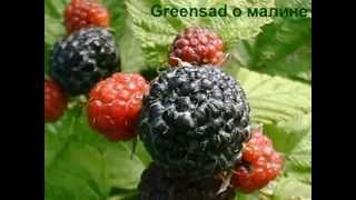 Размножение малины (черенками и отводками)(Видео подготовлено садовым центром Greensad по материалам передачи