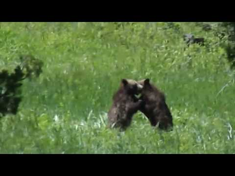 Grizzly Cubs outside Yellowstone park 2018