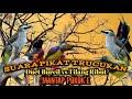 Suara Pikat Trucukan Duet Burcil Vs Tilang Ribut Mantap  Mp3 - Mp4 Download