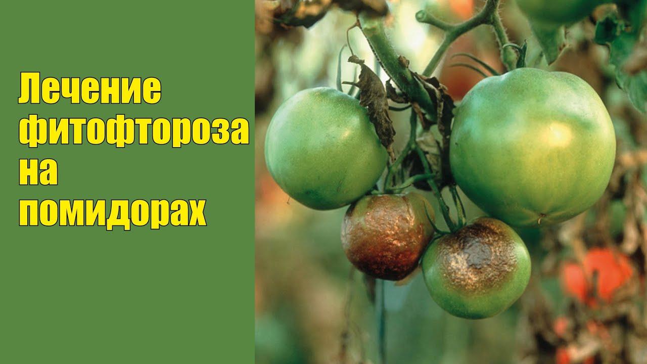 фитофтора на томатах фото