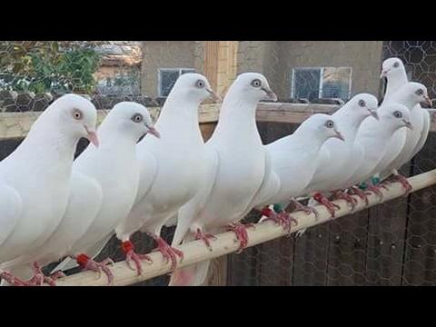 ustad Sheikh hussain k  pigeons