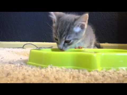 Kitten eating dry food
