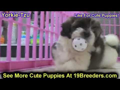 Yorkie Tzu, Puppies For Sale, In Jacksonville, Florida, FL, 19Breeders, Orlando, Cape Coral