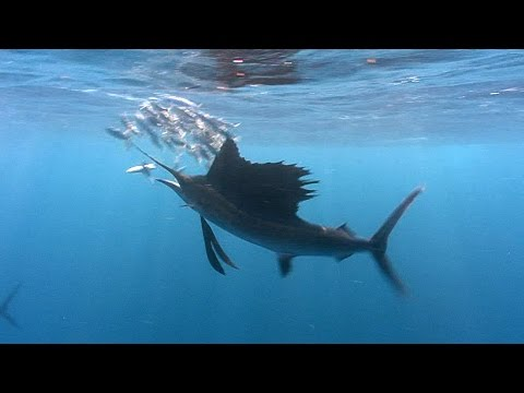 Sailfish! | JONATHAN BIRD'S BLUE WORLD