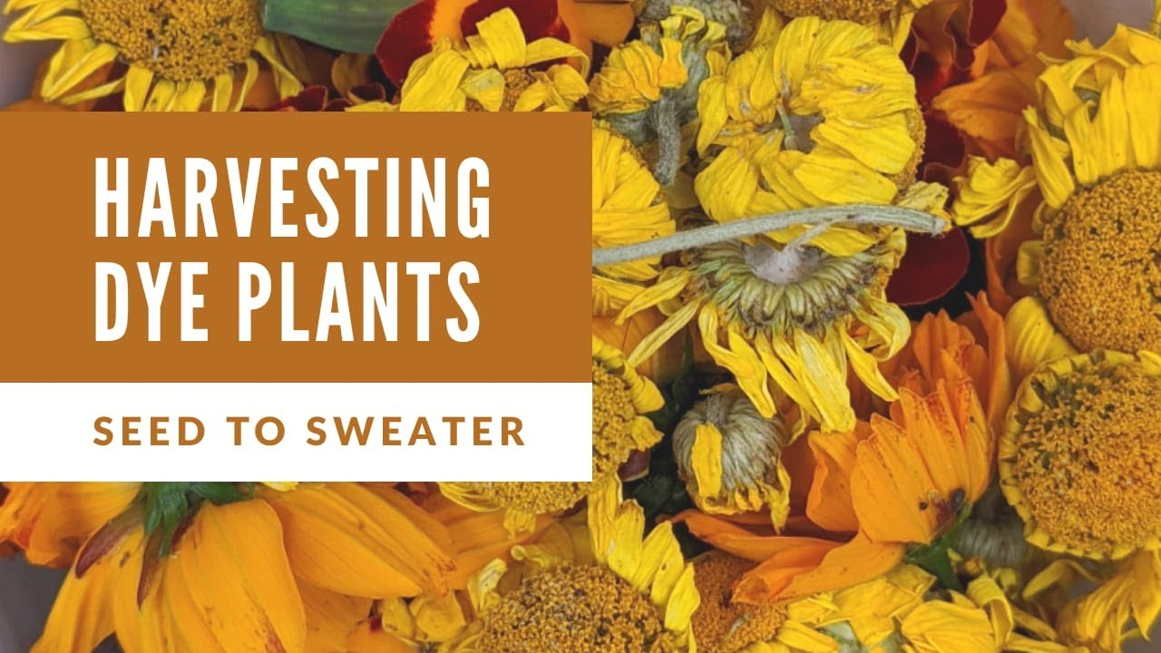 Harvesting Dye Flowers