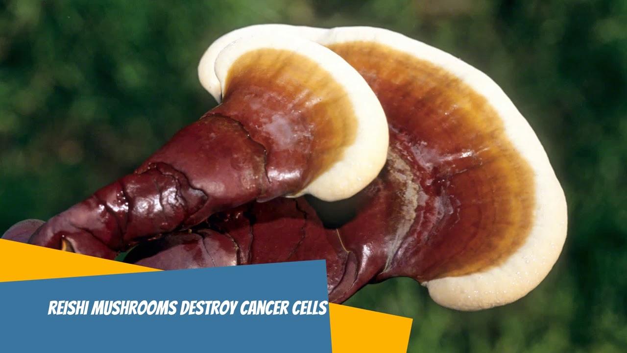 Reishi Mushroom Destroy Cancer Cells - YouTube