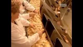 Определение пола цыплят по крыльям(Как на птицефабрике определяют пол цыплят по перьям на крыльях. Метод применим для суточных цыплят. Фрагмен..., 2014-05-03T05:13:55.000Z)
