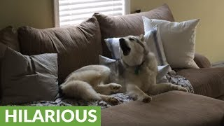This Stubborn Husky is a lazy couch potato