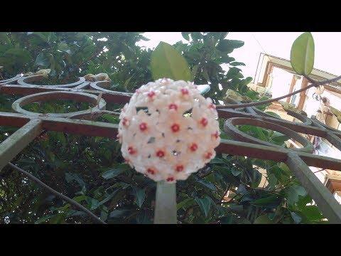 Hoya Carnosa Flowers on My Wall
